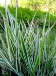Photo Striped Manna Grass, Reed Manna Grass characteristics