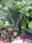 Photo Ornamental Plants Hard shield fern, Soft shield fern (Polystichum), dark green