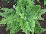 Photo Ornamental Plants Hard shield fern, Soft shield fern (Polystichum), green
