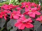Photo Poinsettia, Noche Buena, , Christmas flower characteristics