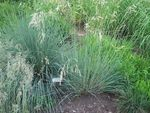 Photo Blue Oat Grass characteristics