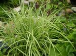 Photo Sedge characteristics