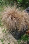 Photo New Zealand Hair Sedge characteristics