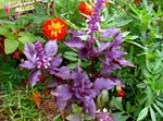 Photo Ornamental Plants Basil leafy ornamentals (Ocimum basilicum), purple