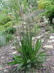 Photo Plantain, Rat's Tails, Travellers Foot, Waybread, Cuckoo's Bread leafy ornamentals (Plantago), green