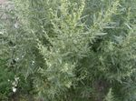 Photo Wormwood, Mugwort characteristics