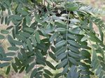 Photo Honey locust characteristics