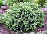 Photo Ornamental Plants Alberta Spruce, Black Hills Spruce, White Spruce, Canadian Spruce (Picea glauca), light blue