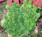 Photo Alberta Spruce, Black Hills Spruce, White Spruce, Canadian Spruce characteristics