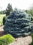 Photo Ornamental Plants Colorado Blue Spruce (Picea pungens), silvery
