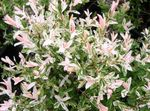 Photo Ornamental Plants Willow (Salix), pink