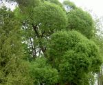 Photo Ornamental Plants Willow (Salix), light green
