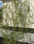 Photo Ornamental Plants Willow (Salix), green