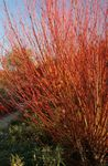 Photo Ornamental Plants Willow (Salix), burgundy