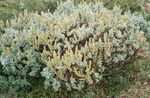 Photo Ornamental Plants Willow (Salix), silvery