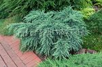 Photo Ornamental Plants Weeping deodar, Deodar Cedar, Himalayan Cedar (Cedrus-deodara), light blue