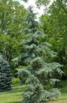 Photo Ornamental Plants Weeping deodar, Deodar Cedar, Himalayan Cedar (Cedrus-deodara), green
