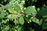 Photo Ornamental Plants Hedge Cotoneaster, European Cotoneaster , green