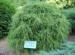 Photo Sawara cypress, Sawara False Cypress, Boulevard Cypress, Blue Moss Cypress characteristics