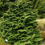 Photo Ornamental Plants Atlantic White Cedar, Hinoki False Cypress (Chamaecyparis), green