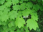 Photo Maple characteristics