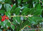 Photo Holly, Black alder, American holly characteristics