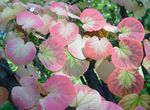 Photo Ornamental Plants Katsura Tree (Cercidiphyllum), pink