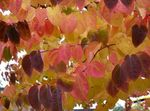 Photo Ornamental Plants Katsura Tree (Cercidiphyllum), burgundy