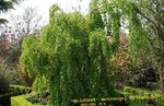 Photo Ornamental Plants Katsura Tree (Cercidiphyllum), green