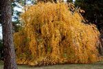 Photo Ornamental Plants Katsura Tree (Cercidiphyllum), yellow