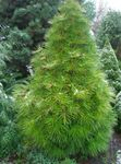 Photo Japanese Umbrella Pine characteristics