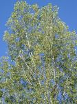 Photo Cottonwood, Poplar characteristics