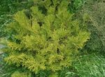 Photo Hiba, False Arborvitae, Japanese Elkhorn Cypress characteristics