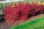 Photo Ornamental Plants Barberry, Japanese Barberry (Berberis thunbergii), red