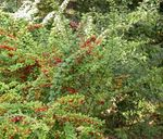 Photo Ornamental Plants Barberry, Japanese Barberry (Berberis thunbergii), green