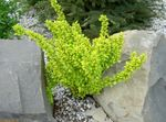 Photo Ornamental Plants Barberry, Japanese Barberry (Berberis thunbergii), yellow