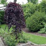 Photo Ornamental Plants Birch (Betula), burgundy