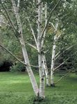 Photo Ornamental Plants Birch (Betula), green