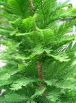 Photo Bald Cypress characteristics