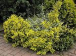 Photo Ornamental Plants Euonymus , yellow
