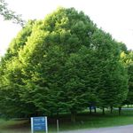Photo Hornbeam characteristics