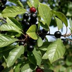 Photo Glossy Buckthorn, Alder Buckthorn, Fernleaf Buckthorn, Tallhedge Buckthorn characteristics
