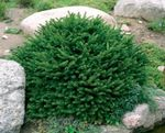 Photo Birdsnest spruce, Norway Spruce characteristics
