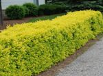 Photo Ornamental Plants Privet, Golden privet (Ligustrum), yellow