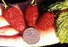 Photo Raspberries grade Gordost Rossii