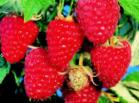 Photo Raspberries grade Tarusa
