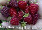 Photo Raspberries grade Brilliantovaya