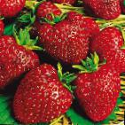 Photo Strawberry grade Moskovskijj delikates