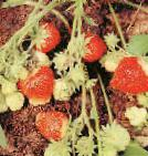 Photo Strawberry grade Vechnaya vesna