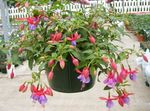Photo Fuchsia characteristics